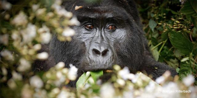 Gorille, voyage aventure en Ouganda