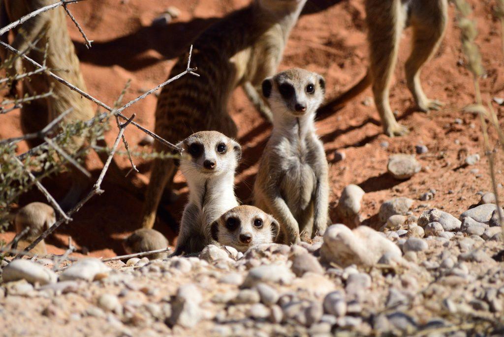 Parc de Kgalagadi - Kalahari