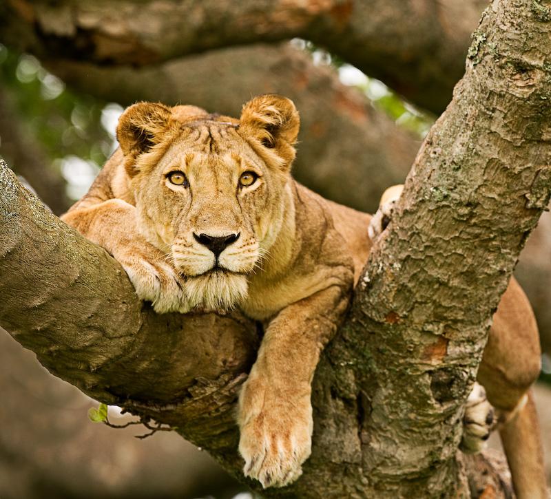 Lions Ouganda - circuit en Ouganda