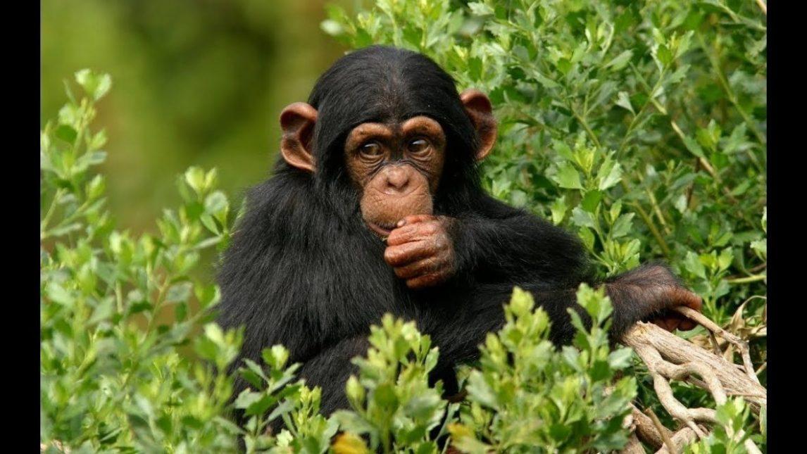 Chimpanzé Iles Ngamba - voyage aventure en Ouganda