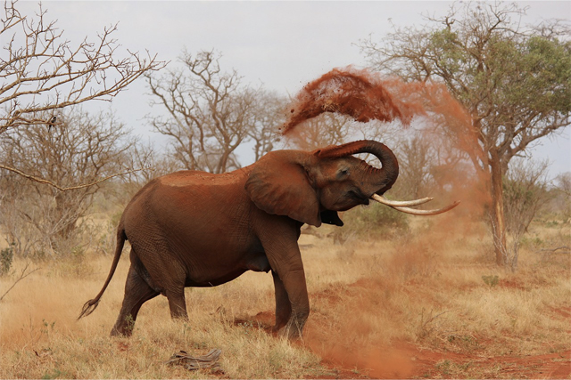 éléphant poudre ocre, kenya