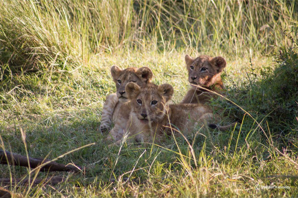 lionceaux Kenya