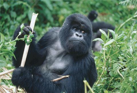 Gorille du Rwanda - circuit au Rwanda