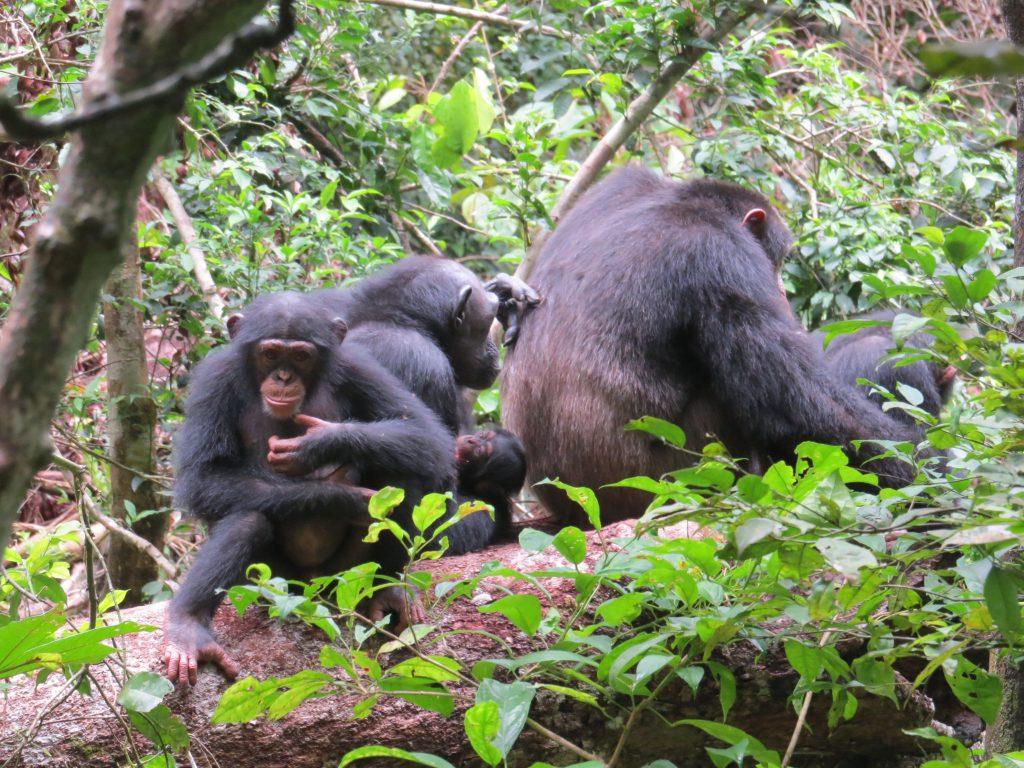 Voir les Chimpanzés lors de votre voyage en Côte d'Ivoire en famille