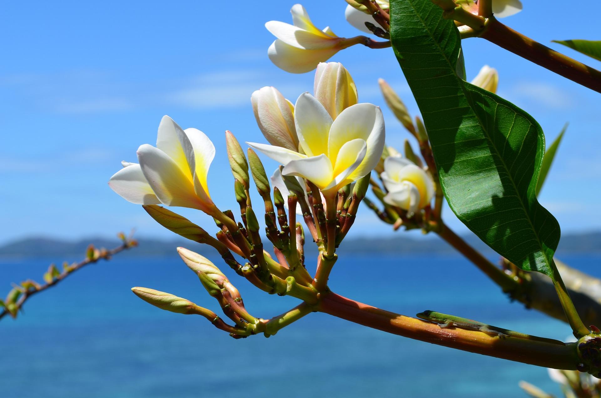 Fleur d'Yland Ylang
