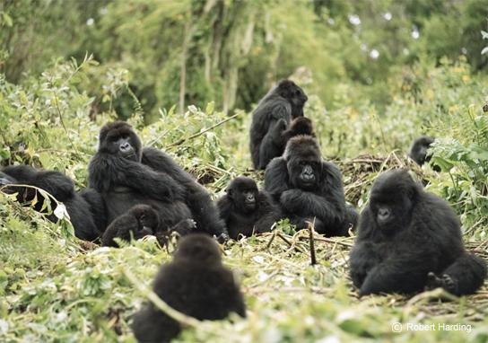 Foret de Bwindi, Ouganda