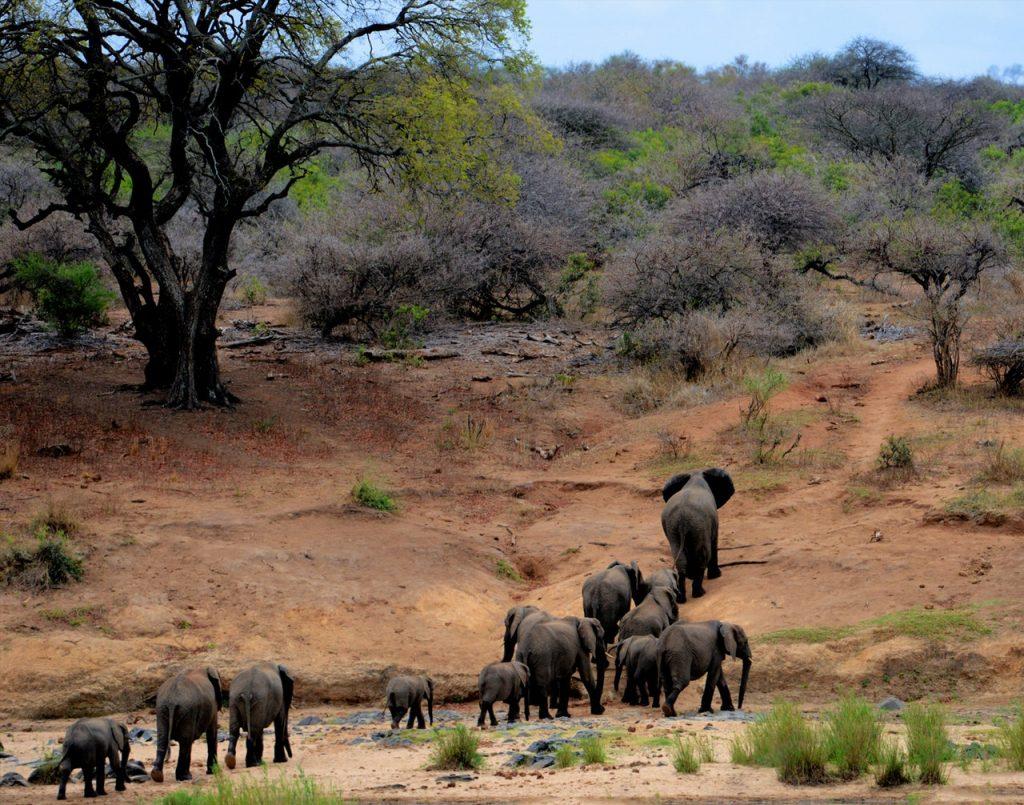 Eléphants dans le Parc du Kruger