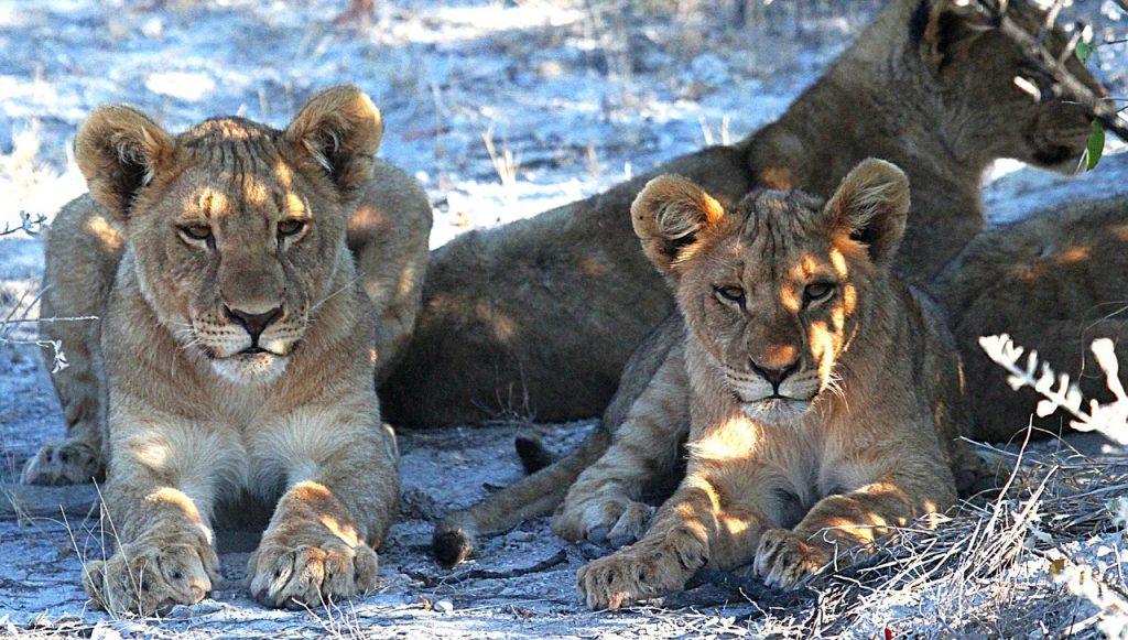 Lionceaux Parc Etosha - Voyage en Namibie en famille