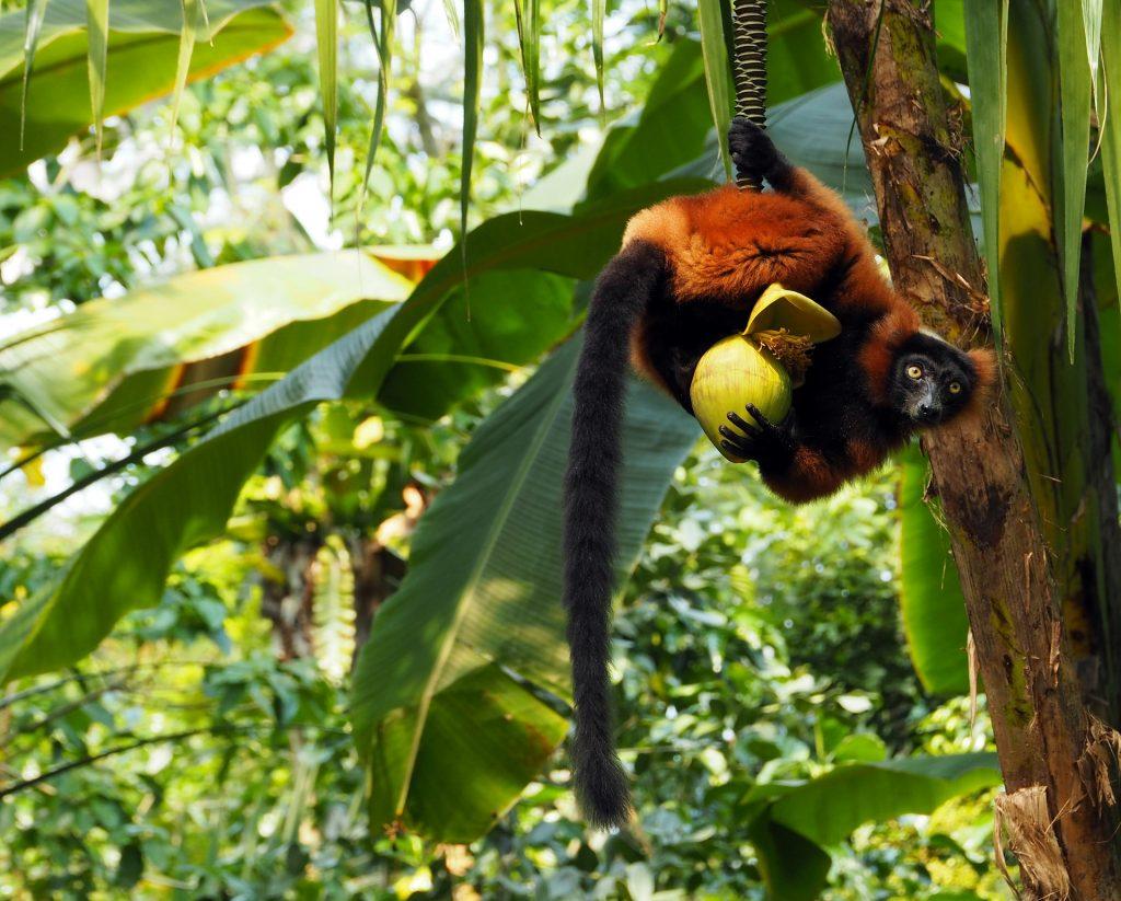 Lémuriens parc Madagascar