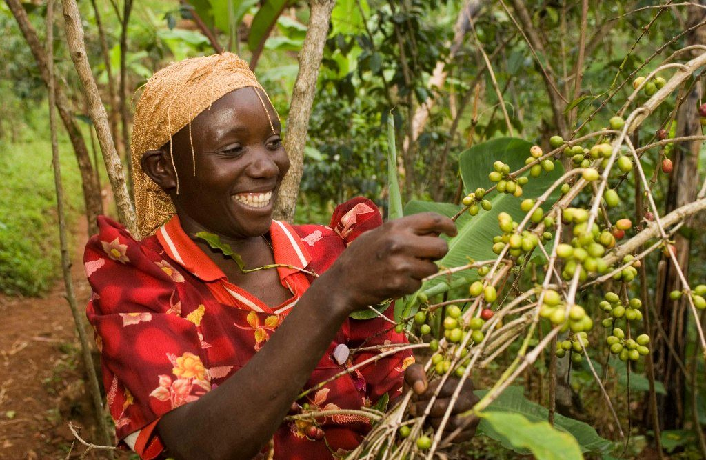Plantation café - circuit en Ouganda