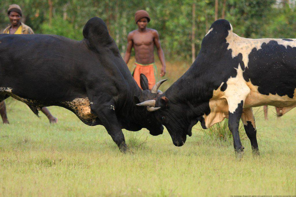 Zébu Madagascar - voyage à Madagascar en famille