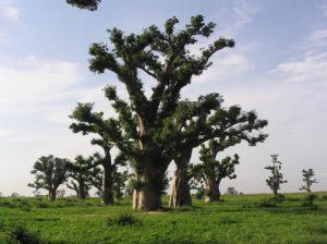 Baobab Sénégal