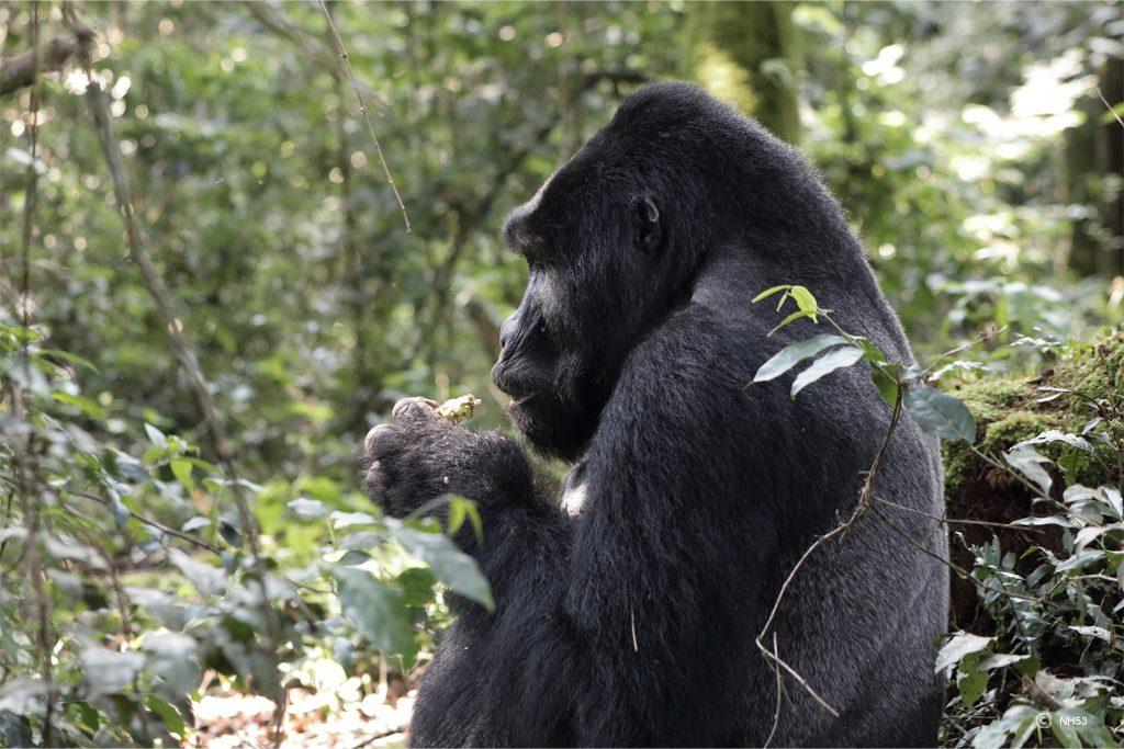 Trek gorille Rwanda