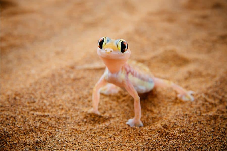Gecko Namibie - Voyage en Namibie en famille