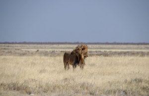 Lion dans le Parc d'Etosha, en Namibie