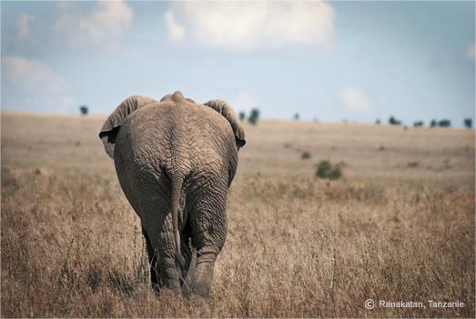 safari, eléphant Tanzaie