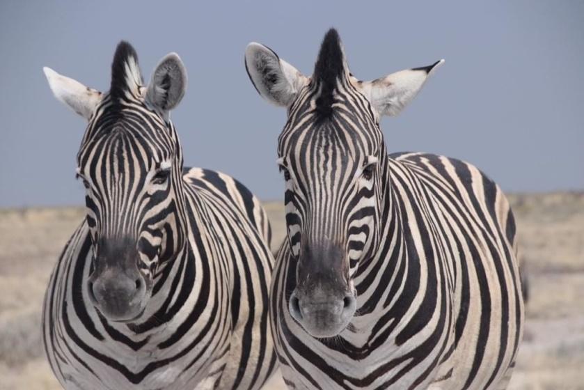 Zèbre Parc d'Etosha, Namibie