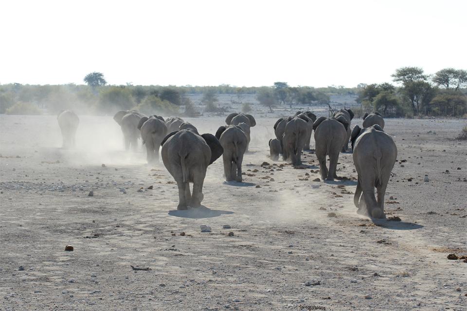 Elephants Parc d'Etosha
