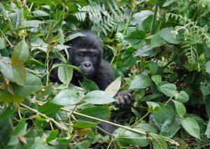 Gorilles Ouganda