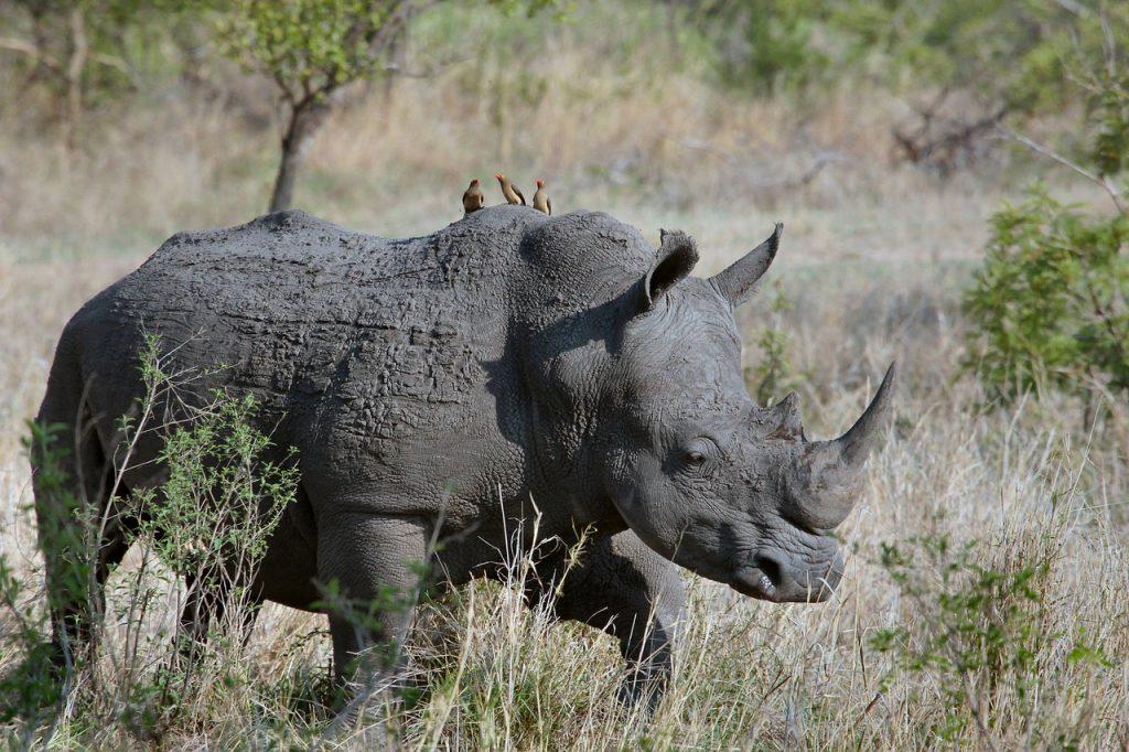 Rhinocéros noir - circuit en Namibie