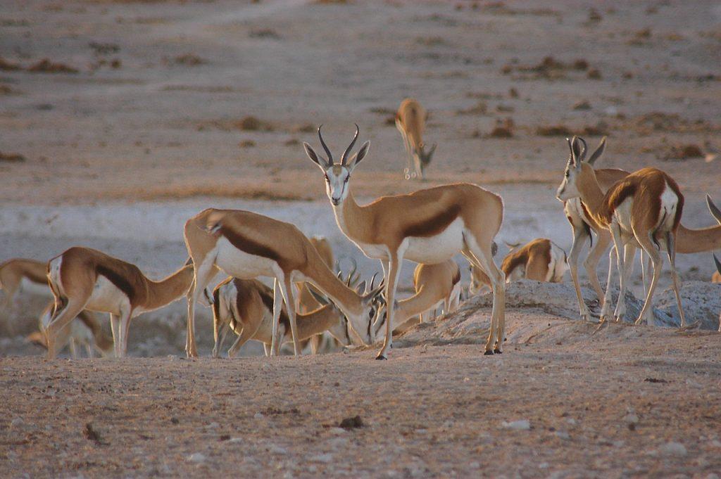 Springbox - Voyage en Namibie