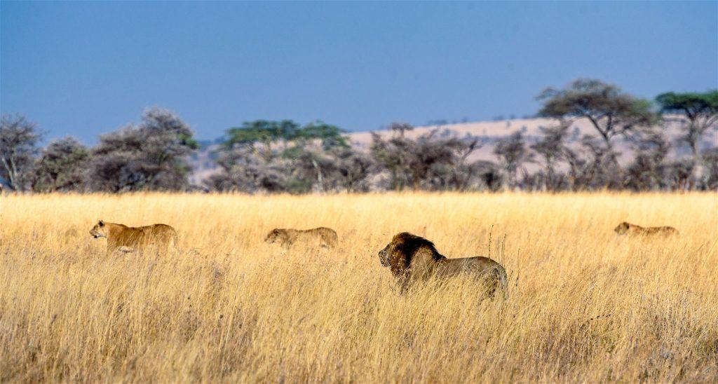 Lion, safari en Tanzanie
