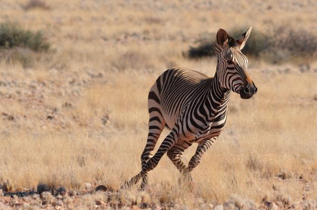Zèbre Etosha - Voyage en Namibie en famille