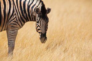 Parc d'Etosha Namibie