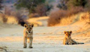Parc national du Kalahari Namibie