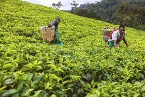 Plantation de thé au Rwanda