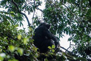 Chimpanzés Nyungwe