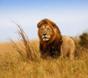 Lion - Parc national du Serengeti