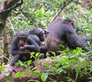 Chimpanzés Côte d'iVOIRE