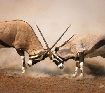 oryx namibie